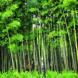 park_bambu