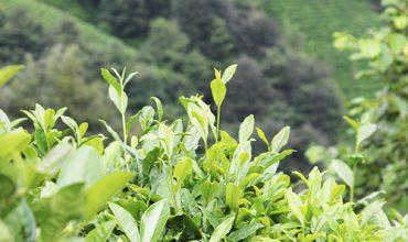 Çayın Kısa Hikayesi – [video]